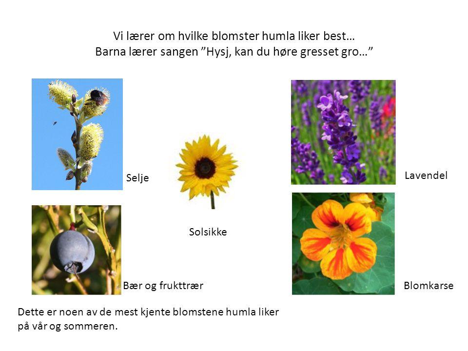 Vi lærer om hvilke blomster humla liker best… Barna lærer sangen Hysj, kan du høre gresset gro… Dette er noen av de mest kjente blomstene humla liker på vår og sommeren.