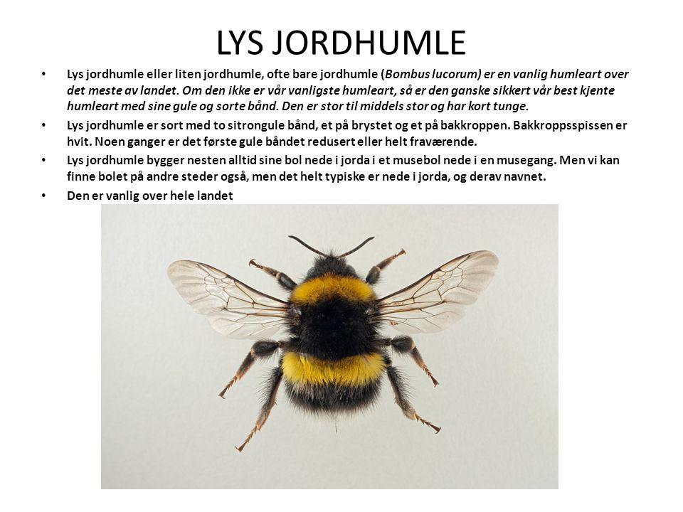 LYS JORDHUMLE Lys jordhumle eller liten jordhumle, ofte bare jordhumle (Bombus lucorum) er en vanlig humleart over det meste av landet.