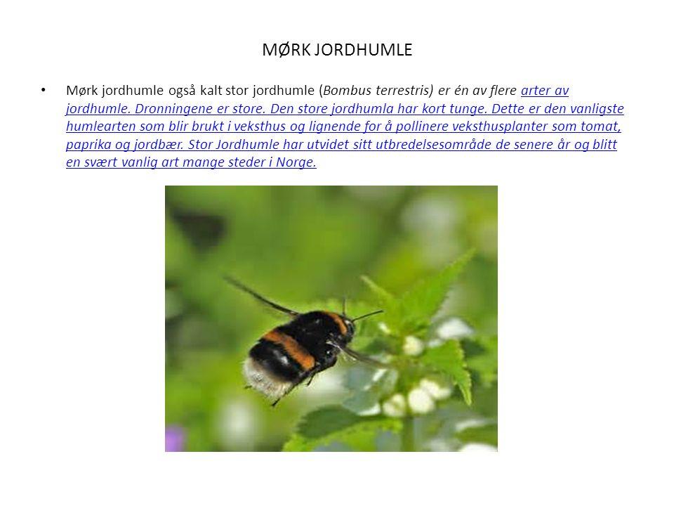MØRK JORDHUMLE Mørk jordhumle også kalt stor jordhumle (Bombus terrestris) er én av flere arter av jordhumle.