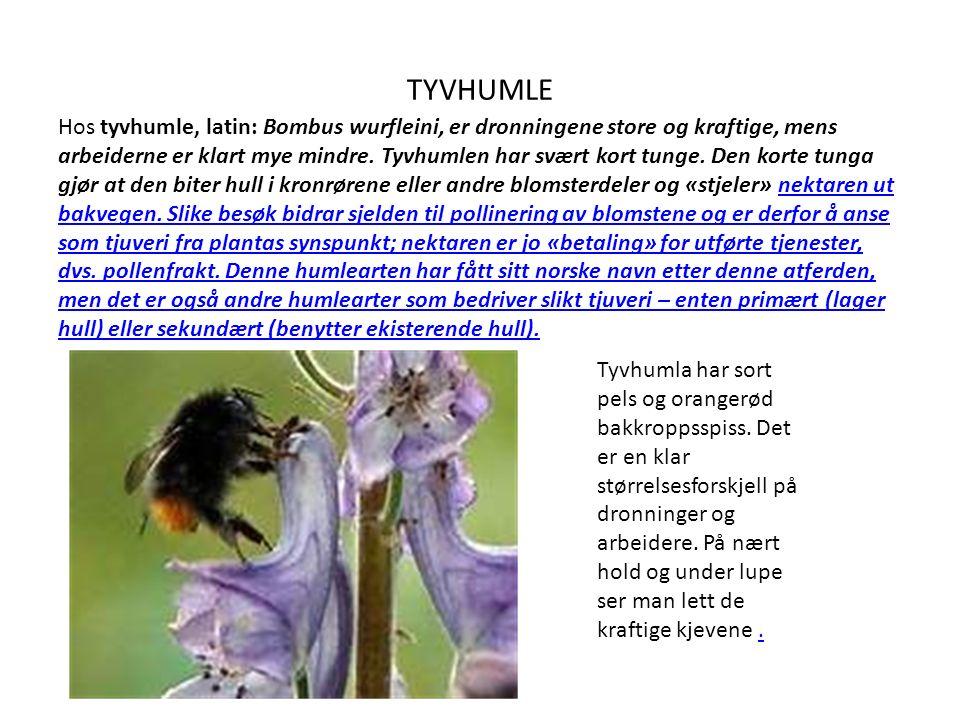 TYVHUMLE Hos tyvhumle, latin: Bombus wurfleini, er dronningene store og kraftige, mens arbeiderne er klart mye mindre.
