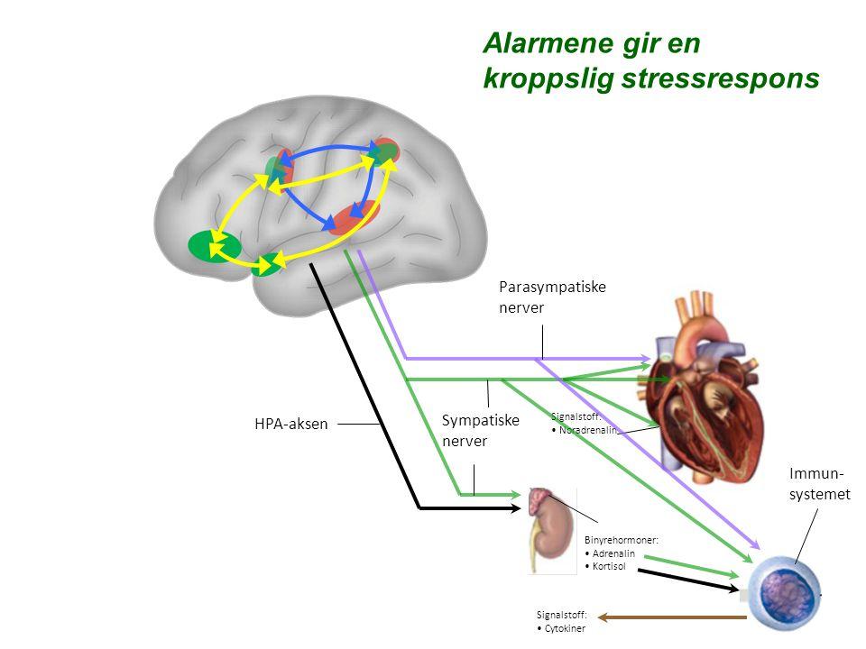 Parasympatiske nerver Sympatiske nerver Binyrehormoner: Adrenalin Kortisol Signalstoff: Noradrenalin Signalstoff: Cytokiner Alarmene gir en kroppslig stressrespons HPA-aksen Immun- systemet