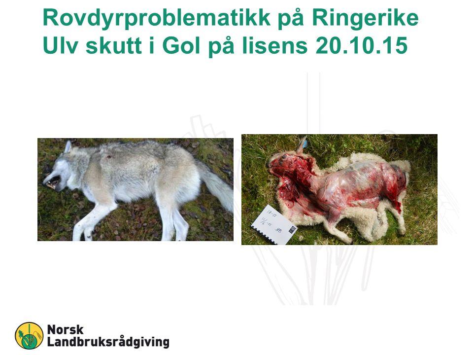 Rovdyrproblematikk på Ringerike Ulv skutt i Gol på lisens 20.10.15