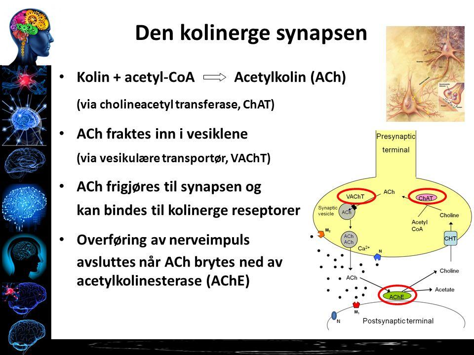 Kolin + acetyl-CoA Acetylkolin (ACh) (via cholineacetyl transferase, ChAT) ACh fraktes inn i vesiklene (via vesikulære transportør, VAChT) ACh frigjøres til synapsen og kan bindes til kolinerge reseptorer Overføring av nerveimpuls avsluttes når ACh brytes ned av acetylkolinesterase (AChE) Den kolinerge synapsen N
