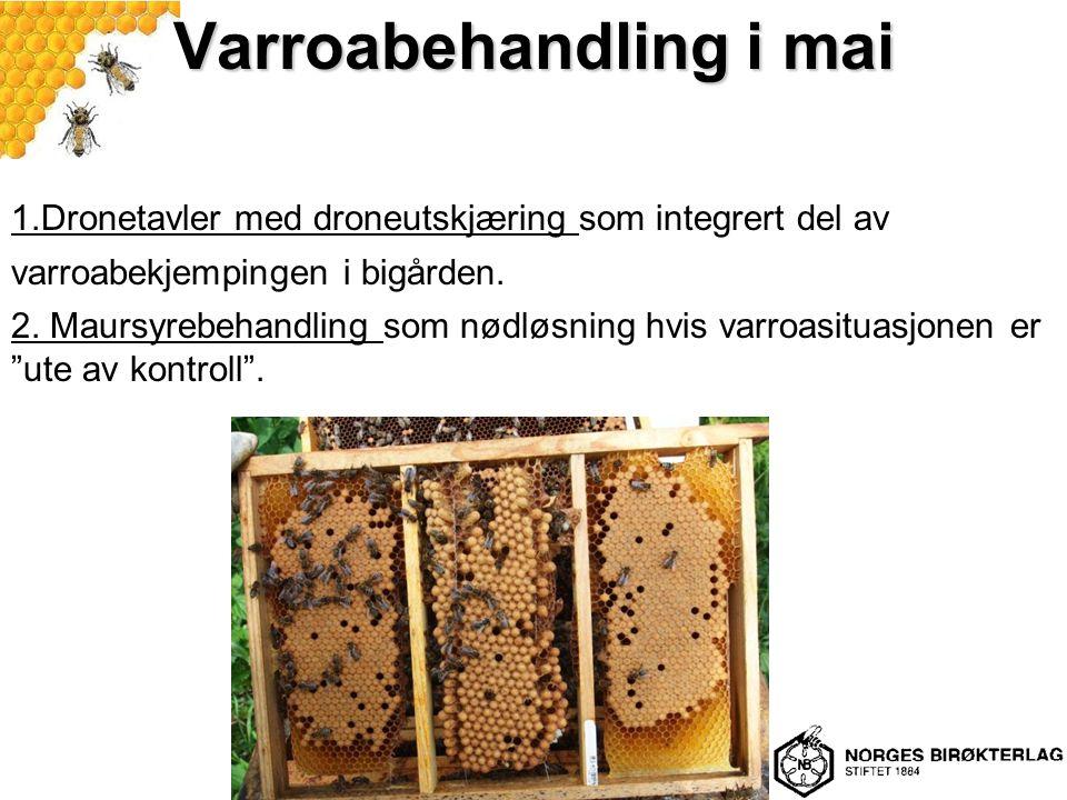 Varroabehandling i mai 1.Dronetavler med droneutskjæring som integrert del av varroabekjempingen i bigården.