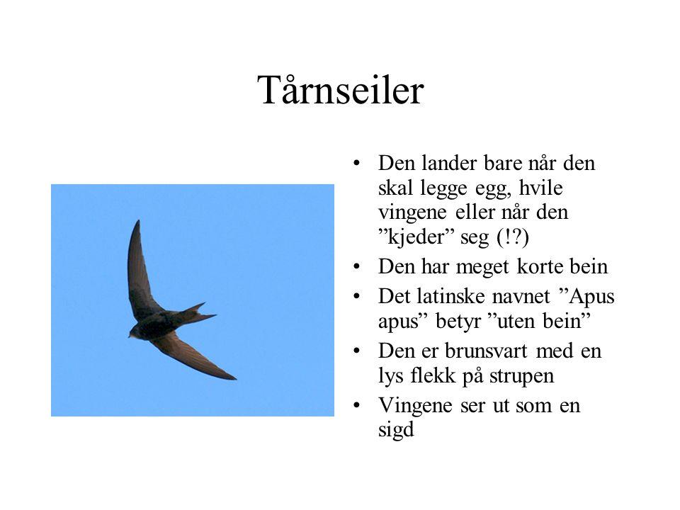 """Tårnseiler Den lander bare når den skal legge egg, hvile vingene eller når den """"kjeder"""" seg (!?) Den har meget korte bein Det latinske navnet """"Apus ap"""