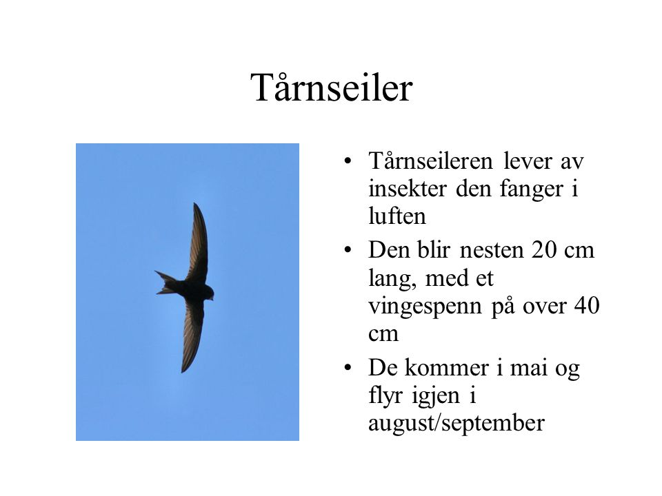 Tårnseiler Tårnseileren lever av insekter den fanger i luften Den blir nesten 20 cm lang, med et vingespenn på over 40 cm De kommer i mai og flyr igjen i august/september