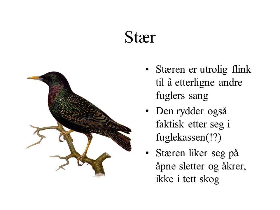 Stær Stæren er utrolig flink til å etterligne andre fuglers sang Den rydder også faktisk etter seg i fuglekassen(!?) Stæren liker seg på åpne sletter og åkrer, ikke i tett skog