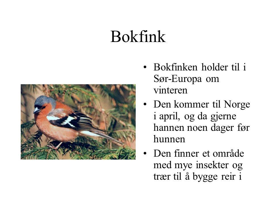 Bokfink Bokfinken holder til i Sør-Europa om vinteren Den kommer til Norge i april, og da gjerne hannen noen dager før hunnen Den finner et område med mye insekter og trær til å bygge reir i
