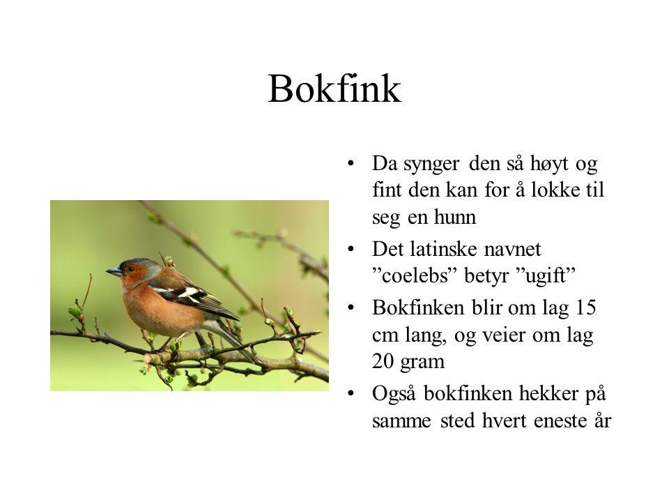 """Bokfink Da synger den så høyt og fint den kan for å lokke til seg en hunn Det latinske navnet """"coelebs"""" betyr """"ugift"""" Bokfinken blir om lag 15 cm lang"""