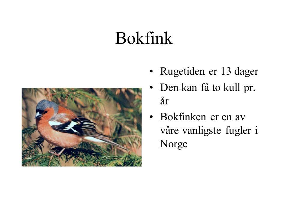 Bokfink Rugetiden er 13 dager Den kan få to kull pr. år Bokfinken er en av våre vanligste fugler i Norge