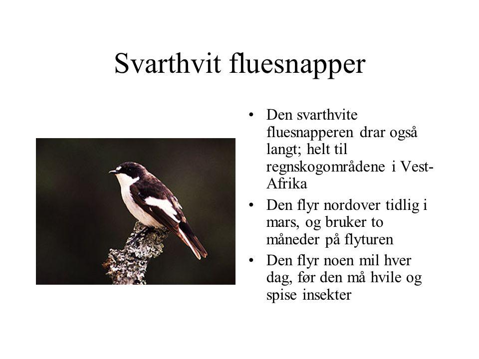 Svarthvit fluesnapper Den svarthvite fluesnapperen drar også langt; helt til regnskogområdene i Vest- Afrika Den flyr nordover tidlig i mars, og bruke