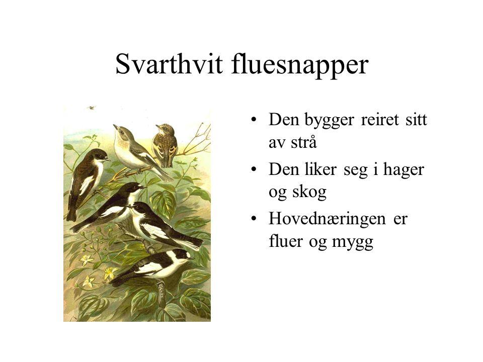 Svarthvit fluesnapper Den bygger reiret sitt av strå Den liker seg i hager og skog Hovednæringen er fluer og mygg