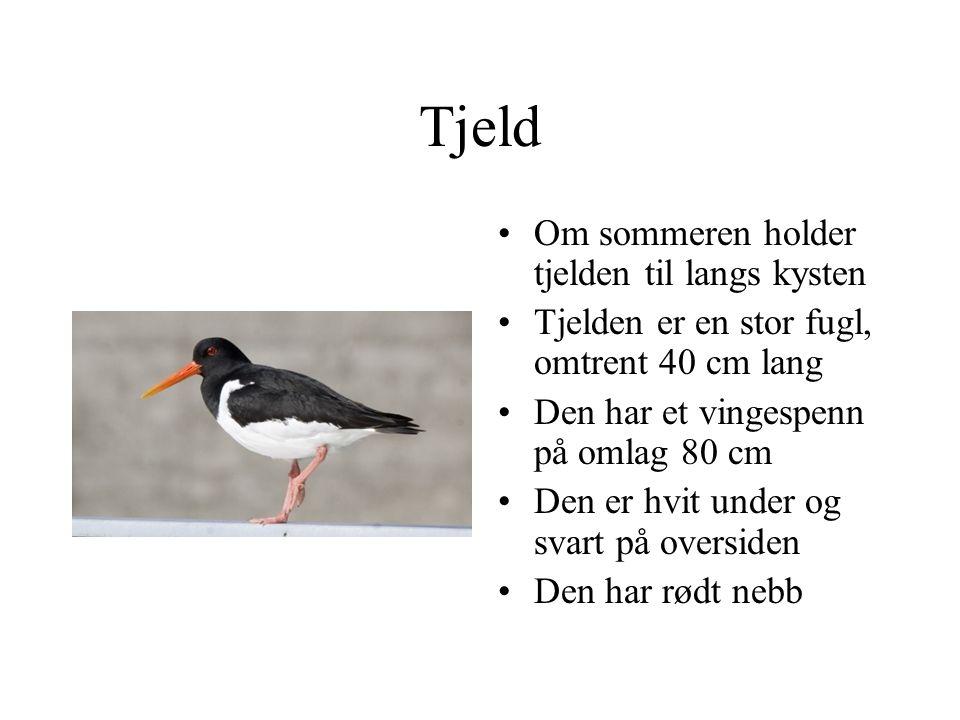 Tjeld Om sommeren holder tjelden til langs kysten Tjelden er en stor fugl, omtrent 40 cm lang Den har et vingespenn på omlag 80 cm Den er hvit under og svart på oversiden Den har rødt nebb