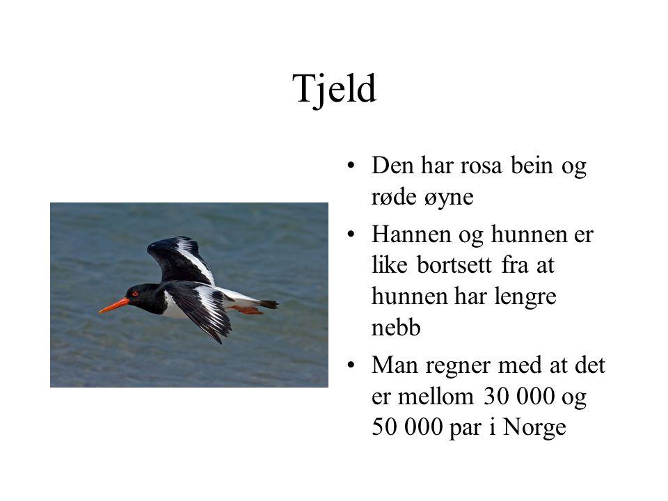 Tjeld Den har rosa bein og røde øyne Hannen og hunnen er like bortsett fra at hunnen har lengre nebb Man regner med at det er mellom 30 000 og 50 000 par i Norge
