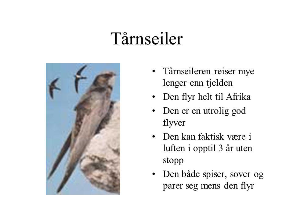 Tårnseiler Tårnseileren reiser mye lenger enn tjelden Den flyr helt til Afrika Den er en utrolig god flyver Den kan faktisk være i luften i opptil 3 år uten stopp Den både spiser, sover og parer seg mens den flyr