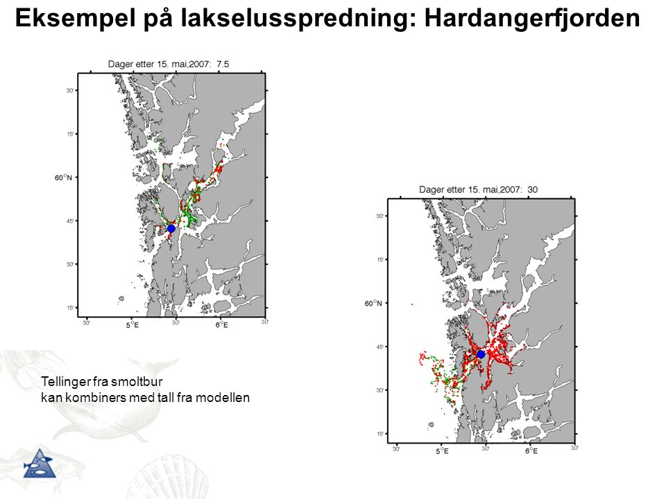 Eksempel på lakselusspredning: Hardangerfjorden Tellinger fra smoltbur kan kombiners med tall fra modellen