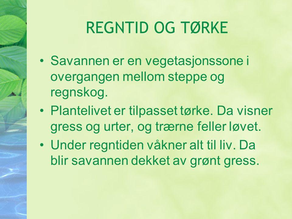 REGNTID OG TØRKE Savannen er en vegetasjonssone i overgangen mellom steppe og regnskog.