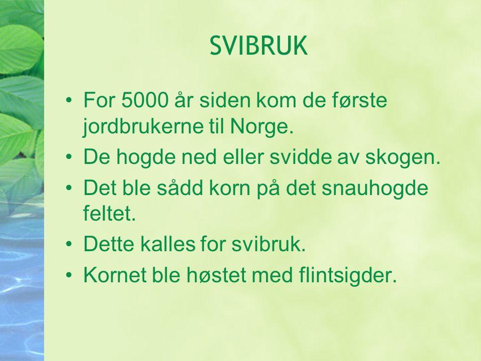 SVIBRUK For 5000 år siden kom de første jordbrukerne til Norge.