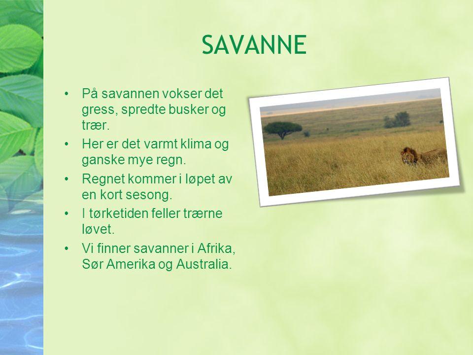 SAVANNE På savannen vokser det gress, spredte busker og trær.