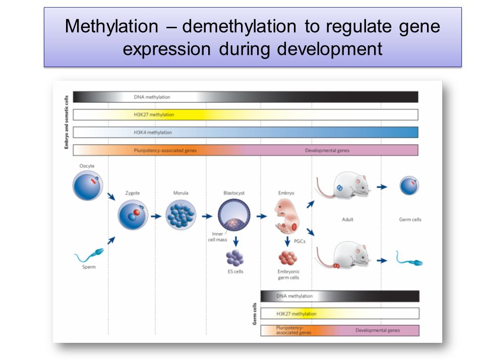 Methylation – demethylation to regulate gene expression during development
