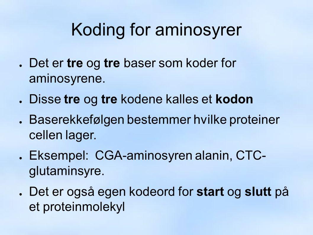 Koding for aminosyrer ● Det er tre og tre baser som koder for aminosyrene.