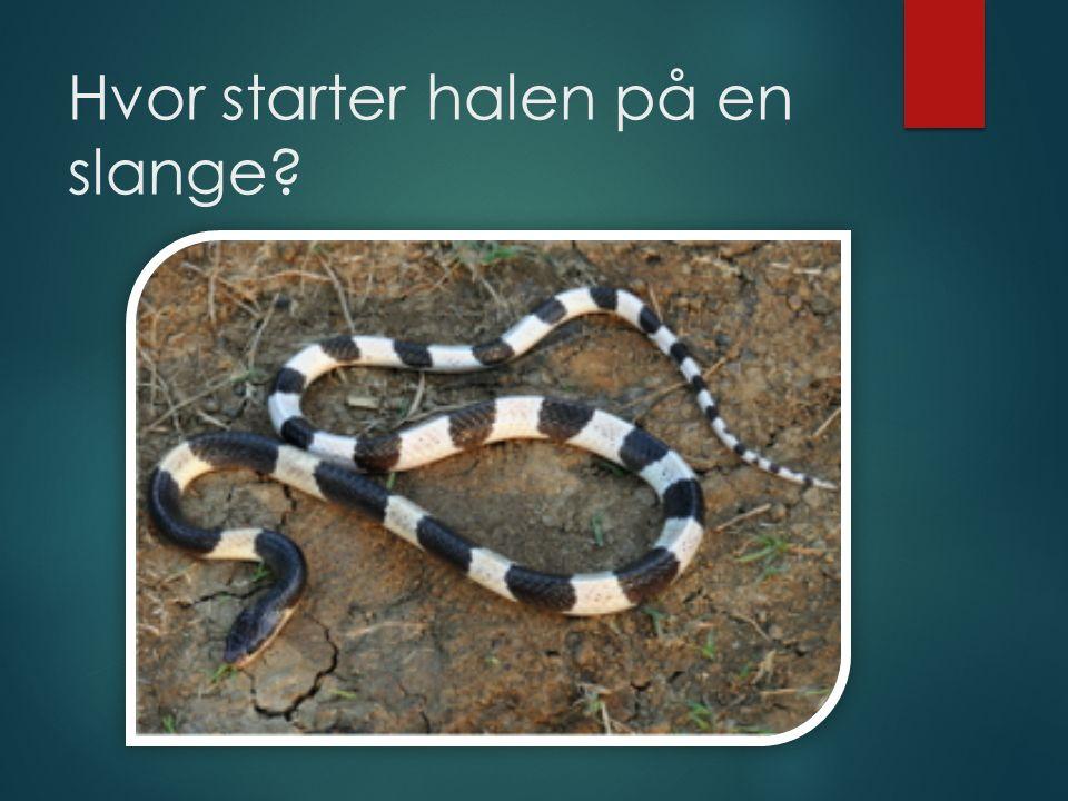 Hvor starter halen på en slange?