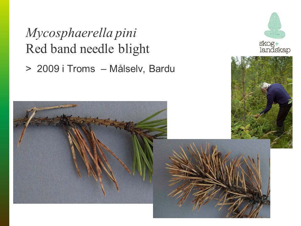 Mycosphaerella pini Red band needle blight >2009 i Troms – Målselv, Bardu