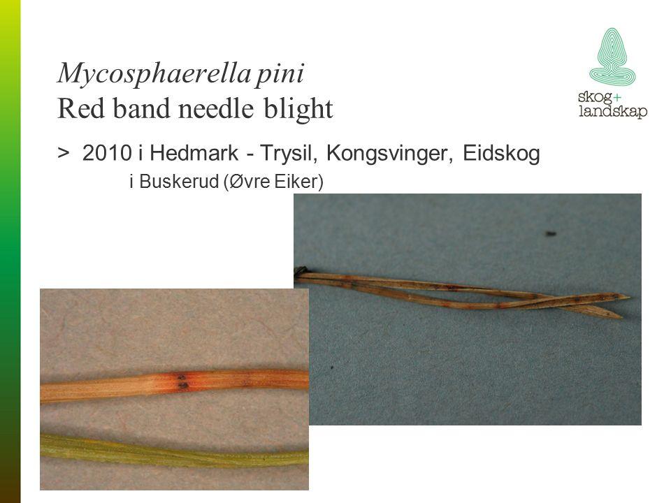 Mycosphaerella pini Red band needle blight >2010 i Hedmark - Trysil, Kongsvinger, Eidskog i Buskerud (Øvre Eiker)