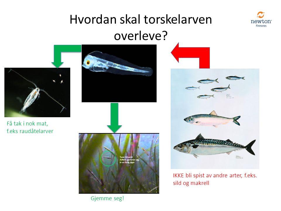 Hvordan skal torskelarven overleve? Få tak i nok mat, f.eks raudåtelarver IKKE bli spist av andre arter, f.eks. sild og makrell Gjemme seg!
