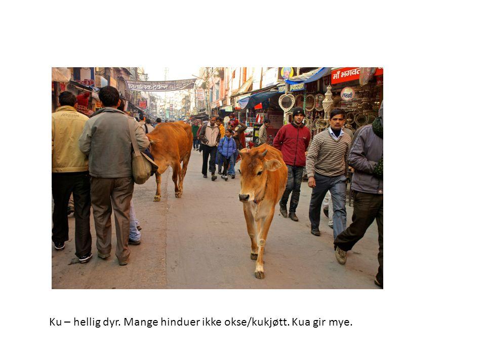 Ku – hellig dyr. Mange hinduer ikke okse/kukjøtt. Kua gir mye.