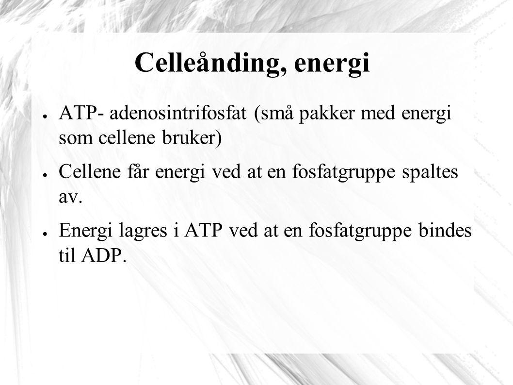 Celleånding, energi ● ATP- adenosintrifosfat (små pakker med energi som cellene bruker) ● Cellene får energi ved at en fosfatgruppe spaltes av.