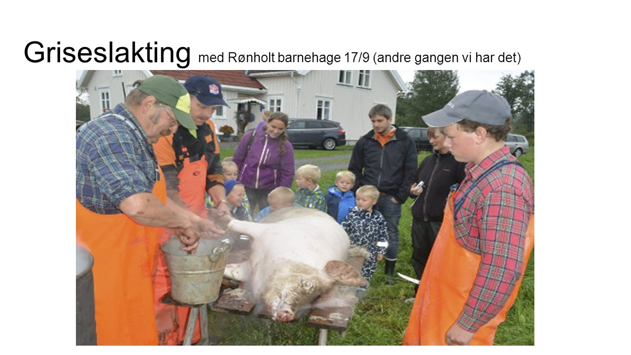 Griseslakting med Rønholt barnehage 17/9 (andre gangen vi har det)