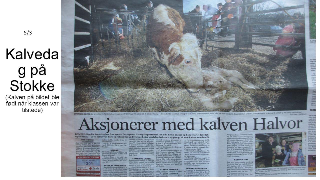 Kalveda g på Stokke (Kalven på bildet ble født når klassen var tilstede) 5/3