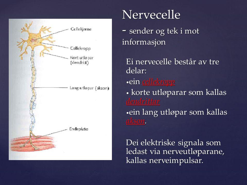 { Nervecelle - sender og tek i mot informasjon Nervecelle - sender og tek i mot informasjon Ei nervecelle består av tre delar: ein cellekropp ein cellekropp korte utløparar som kallas dendrittar korte utløparar som kallas dendrittar ein lang utløpar som kallas akson.