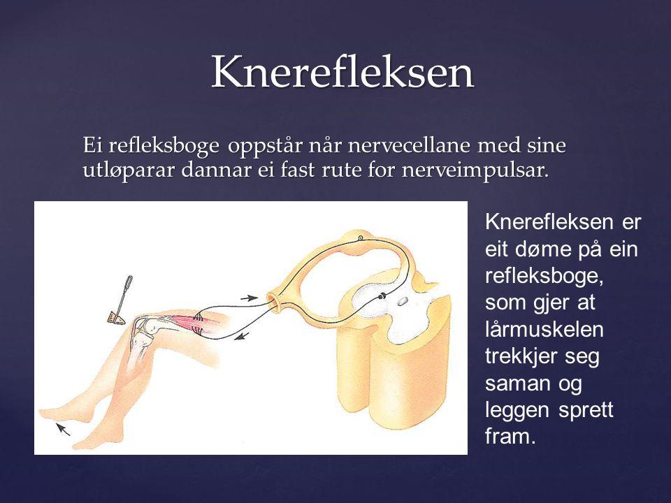 Ei refleksboge oppstår når nervecellane med sine utløparar dannar ei fast rute for nerveimpulsar.