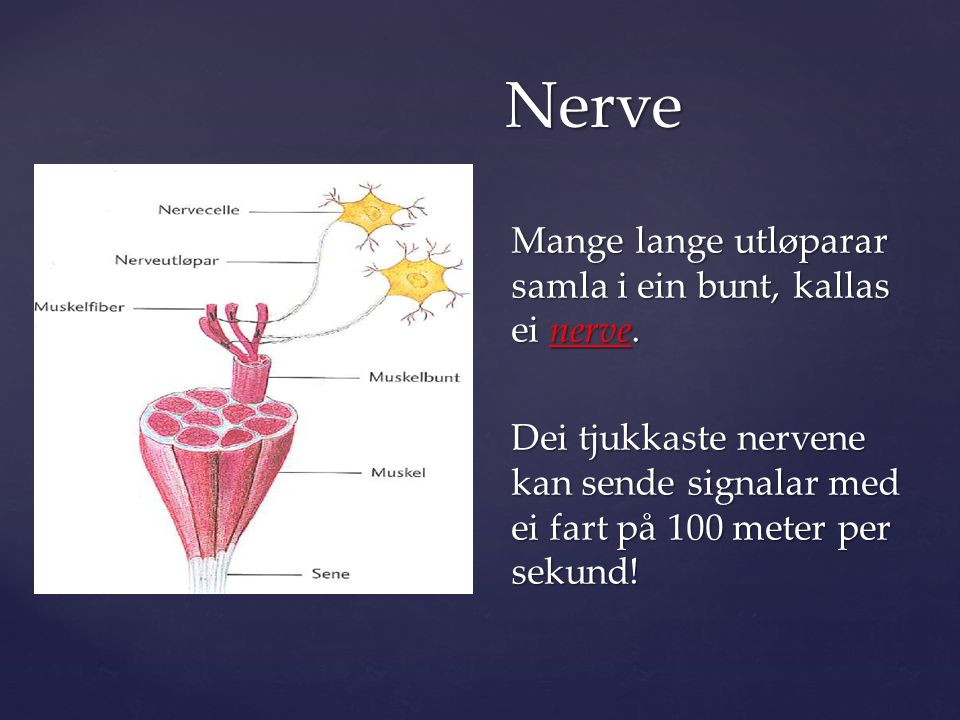 Mange lange utløparar samla i ein bunt, kallas ei nerve.