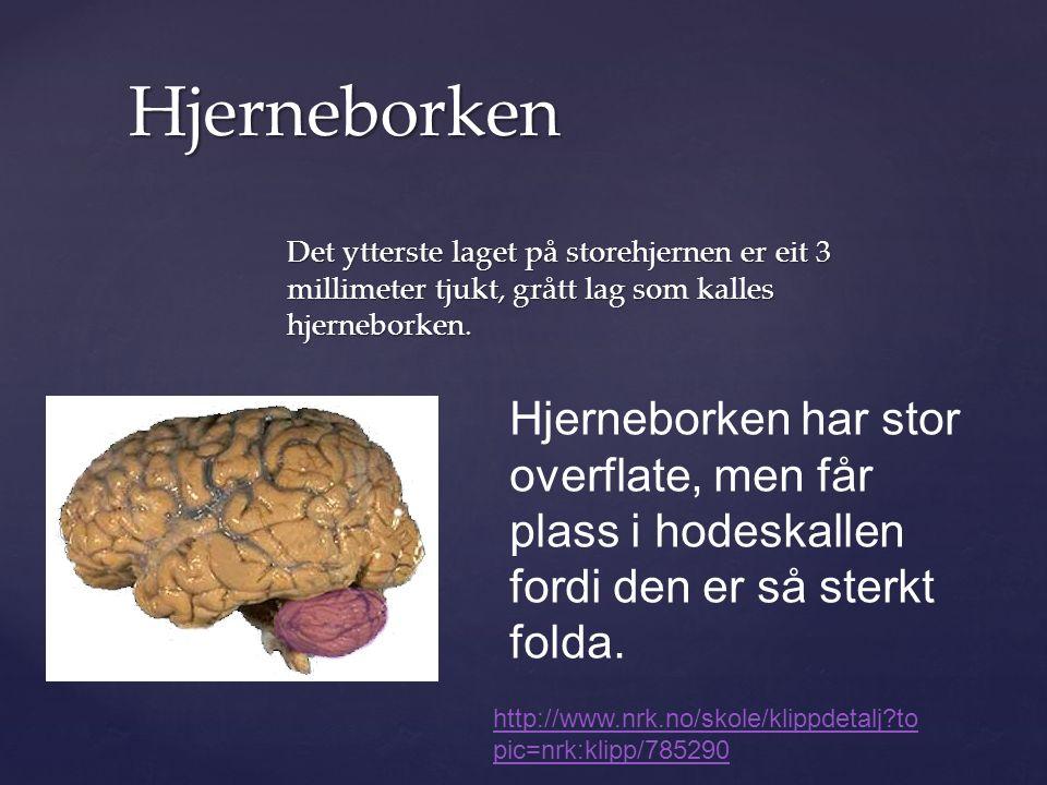 Det ytterste laget på storehjernen er eit 3 millimeter tjukt, grått lag som kalles hjerneborken.