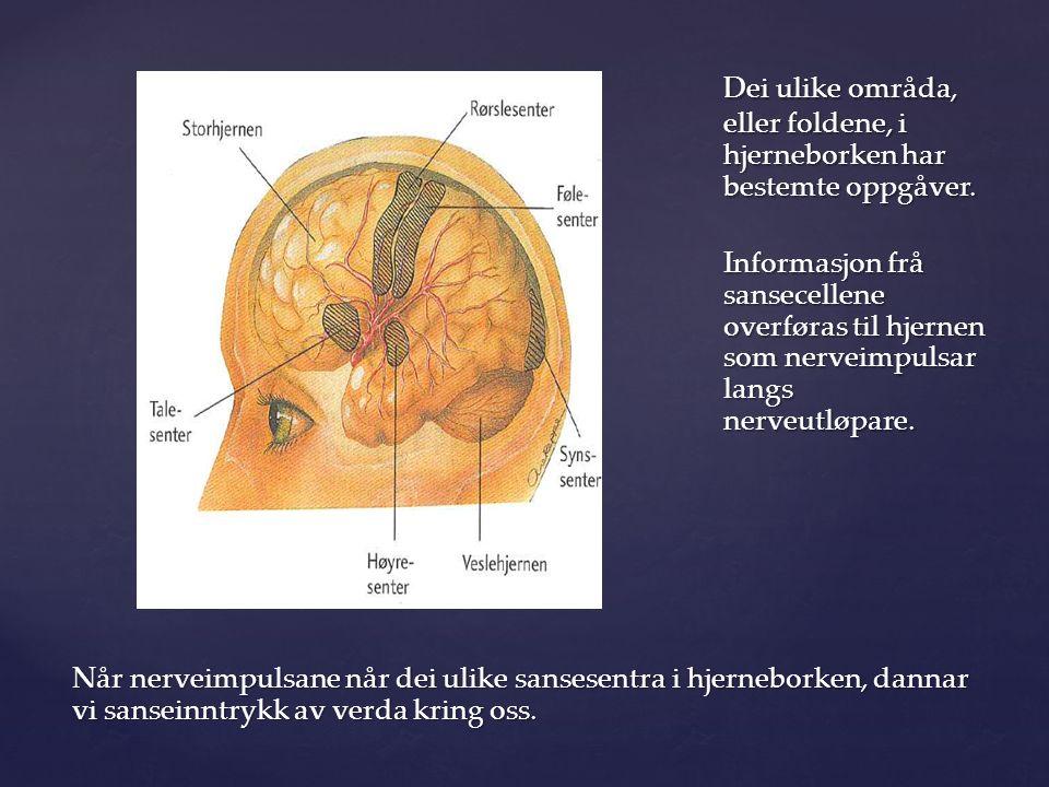 Dei ulike områda, eller foldene, i hjerneborken har bestemte oppgåver.