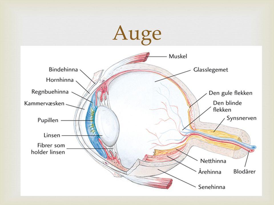  Auge