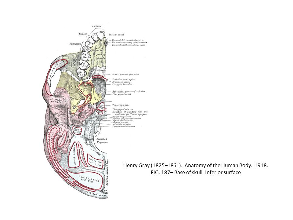 Henry Gray (1825–1861). Anatomy of the Human Body. 1918. FIG. 187– Base of skull. Inferior surface