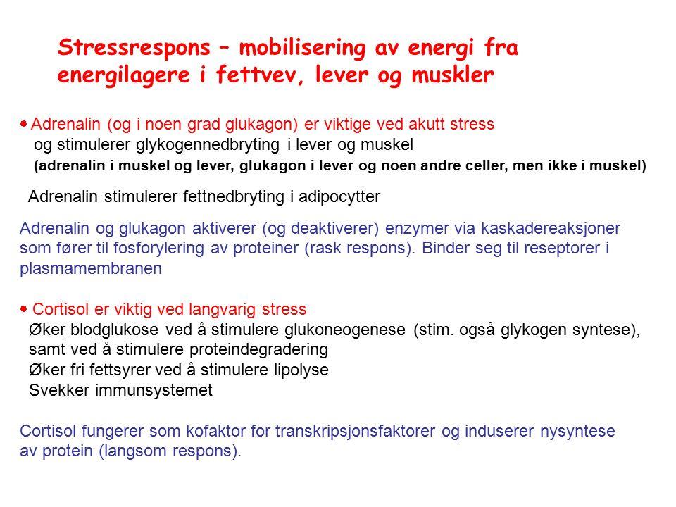 Stressrespons – mobilisering av energi fra energilagere i fettvev, lever og muskler  Adrenalin (og i noen grad glukagon) er viktige ved akutt stress og stimulerer glykogennedbryting i lever og muskel (adrenalin i muskel og lever, glukagon i lever og noen andre celler, men ikke i muskel) Adrenalin stimulerer fettnedbryting i adipocytter Adrenalin og glukagon aktiverer (og deaktiverer) enzymer via kaskadereaksjoner som fører til fosforylering av proteiner (rask respons).