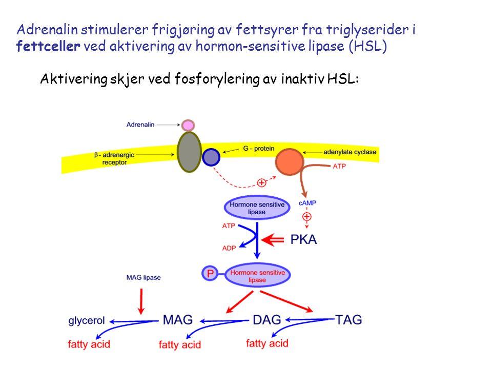 Adrenalin stimulerer frigjøring av fettsyrer fra triglyserider i fettceller ved aktivering av hormon-sensitive lipase (HSL) Aktivering skjer ved fosforylering av inaktiv HSL: