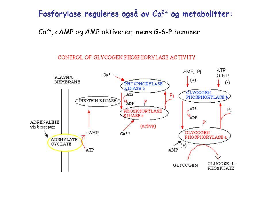 Fosforylase reguleres også av Ca 2+ og metabolitter: Ca 2+, cAMP og AMP aktiverer, mens G-6-P hemmer
