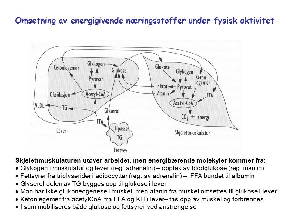 Omsetning av energigivende næringsstoffer under fysisk aktivitet Skjelettmuskulaturen utøver arbeidet, men energibærende molekyler kommer fra:  Glykogen i muskulatur og lever (reg.