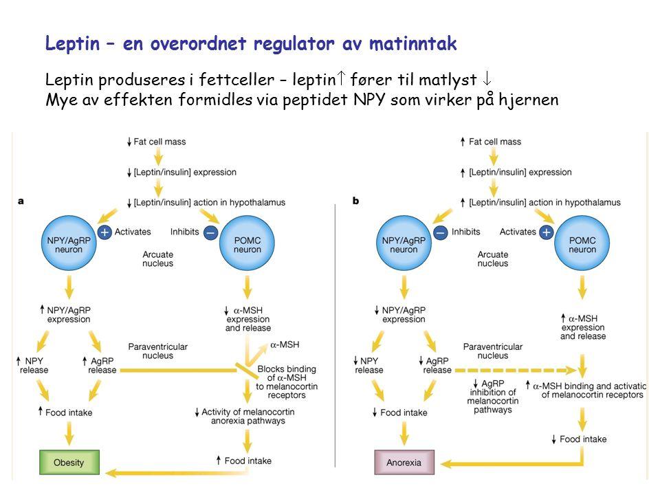Leptin – en overordnet regulator av matinntak Leptin produseres i fettceller – leptin  fører til matlyst  Mye av effekten formidles via peptidet NPY som virker på hjernen