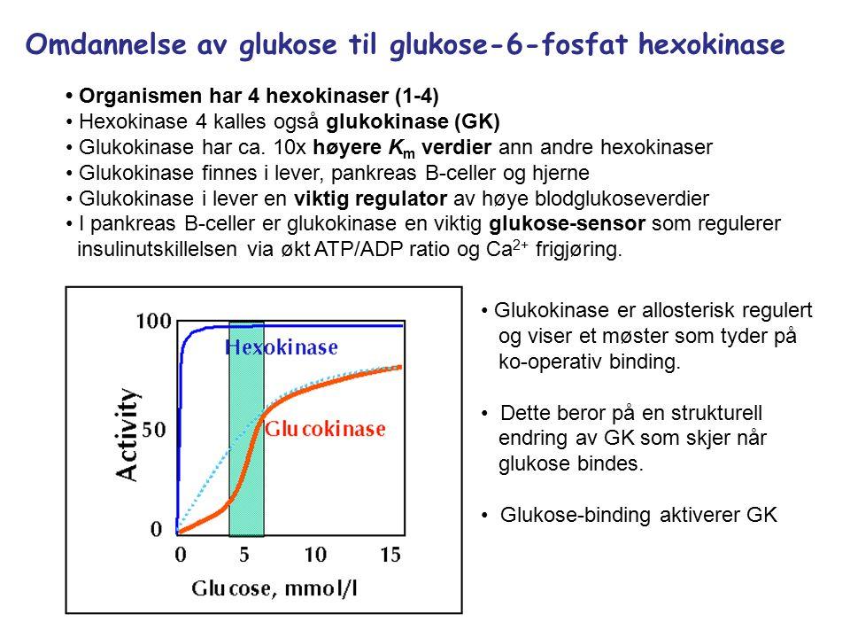 Omdannelse av glukose til glukose-6-fosfat hexokinase Organismen har 4 hexokinaser (1-4) Hexokinase 4 kalles også glukokinase (GK) Glukokinase har ca.