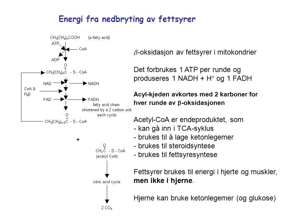  -oksidasjon av fettsyrer i mitokondrier Det forbrukes 1 ATP per runde og produseres 1 NADH + H + og 1 FADH Acyl-kjeden avkortes med 2 karboner for hver runde av  -oksidasjonen Acetyl-CoA er endeproduktet, som - kan gå inn i TCA-syklus - brukes til å lage ketonlegemer - brukes til steroidsyntese - brukes til fettsyresyntese Fettsyrer brukes til energi i hjerte og muskler, men ikke i hjerne.