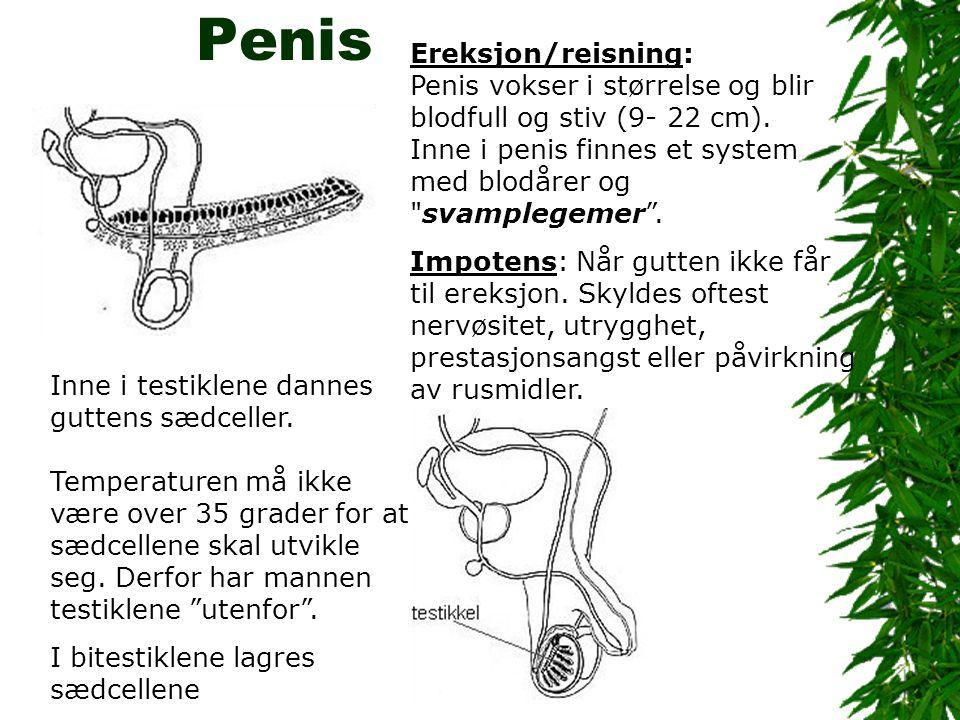 Penis Ereksjon/reisning: Penis vokser i størrelse og blir blodfull og stiv (9- 22 cm).