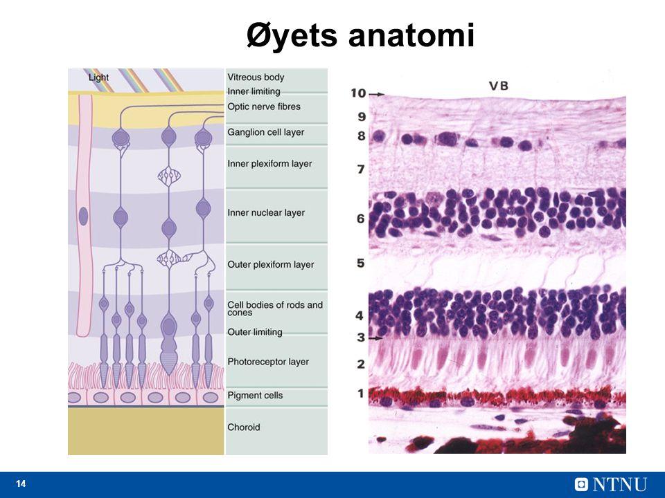 14 Øyets anatomi
