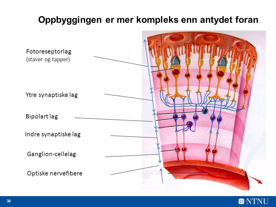 30 Oppbyggingen er mer kompleks enn antydet foran Fotoreseptorlag (staver og tapper) Ytre synaptiske lag Bipolart lag Indre synaptiske lag Ganglion-cellelag Optiske nervefibere